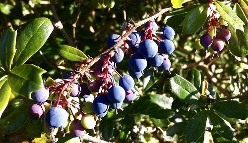 Edible berries in the wild