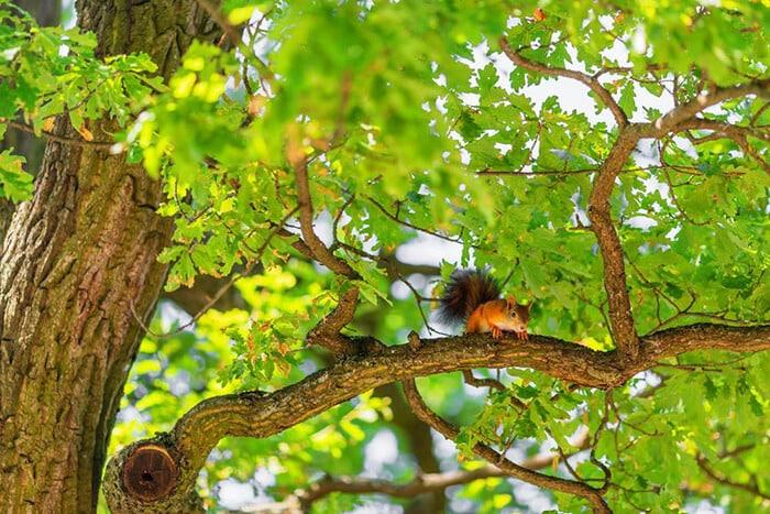 hunt squirrel on oak