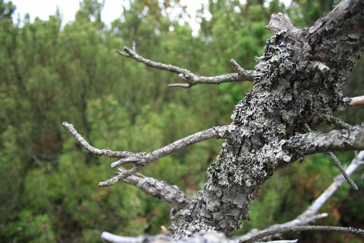 Finding Dry Dead Branch in Wet Forest