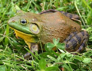 What is Frog Gigging?