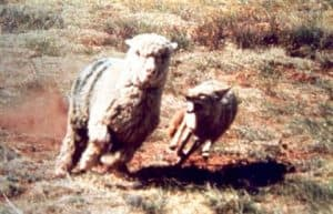 Coyote Attacking Sheep