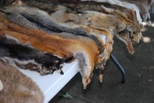 Coyote and Other Furbearing Animal Pelts for Sale