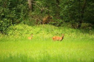 Roe Deer Edge Habitat Forest Meets Grassland