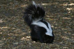 Skunks Smell Better than Coyote Bait