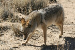 Wary Wily Coyotes are Curious and Suspicious Animals