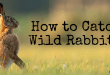 How to Catch Wild Rabbits
