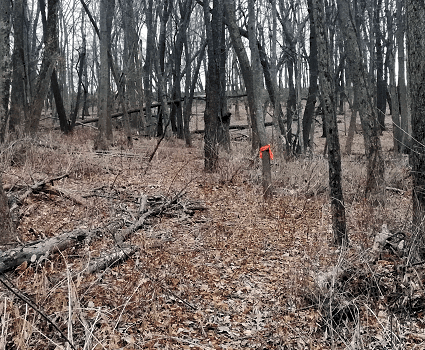 bandana marking a snare trap in a tree for effective and ethical wild rabbit hunting trapping