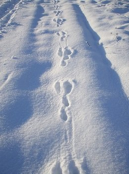 rabbit tracks in the snow how to identify rabbit run trail snare trap placement guide